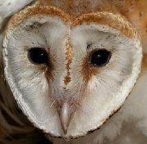 Head of the Barn owl